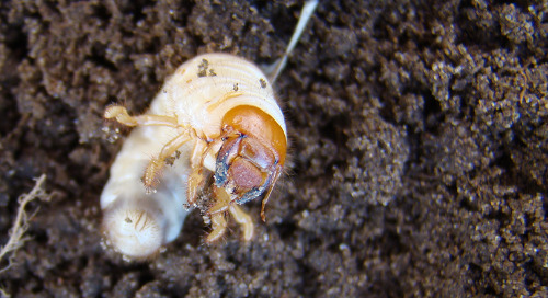 White Grubs Thrive on Soybean Roots