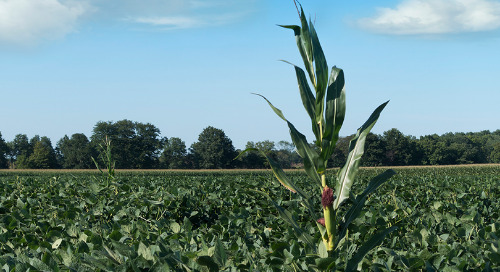 Think Early Control for Volunteer Corn