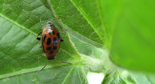 Bean Leaf Beetle: Two Generations of Attack