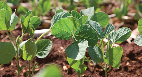 Don't Let Early-season Weeds Bully Your Soybeans