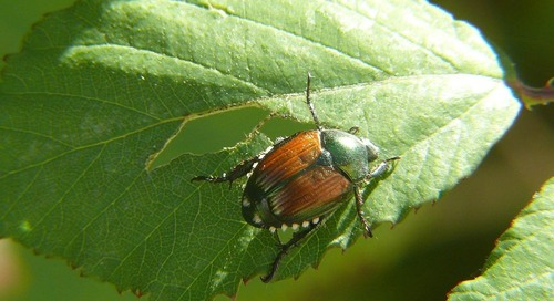 The thorny problem – a Japanese beetle lesson plan.