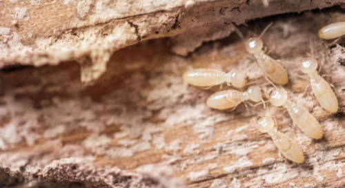 Critters in the classroom, insect edition: Eastern Subterranean Termites