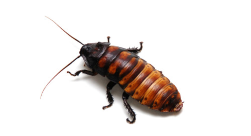 Critters in the Classroom: Insect Edition - Madagascar hissing cockroach