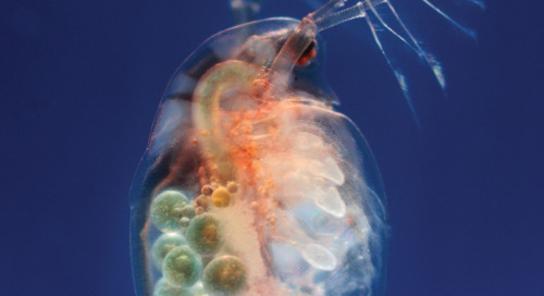 How to culture and care for daphnia