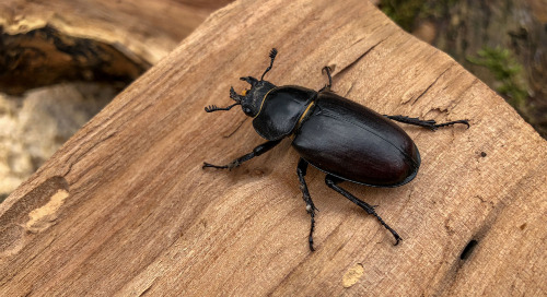 Critters in the classroom, insect edition: Bess beetles (plus a free activity!)