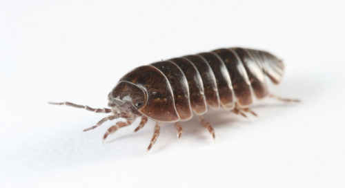 Critters in the classroom, insect edition: Pill bugs and sow bugs