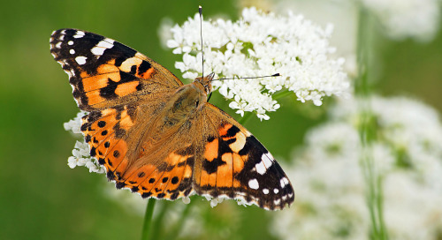 Critters in the classroom, insect edition: Painted Lady Butterfly