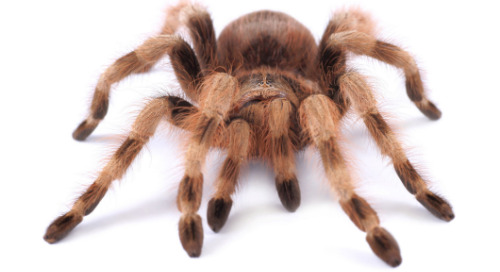 Critters in the classroom, insect edition: Chilean Rose Hair Tarantula