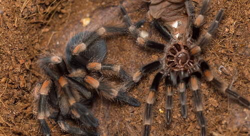 Inside the Ward's Lab: Tarantula Molting
