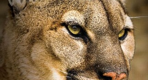 Mountain Lions in Nebraska (Updated 2015)