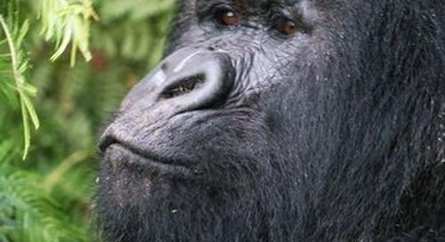Gorilla Trek Information