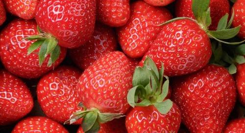 El programa Huma Gro® aumenta la producción de fresas un 14 %, con un retorno de la inversión superior a $2.500/acre