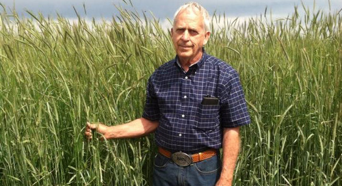 Rye: A Popcorn Farmer's Experience with Cover Crops