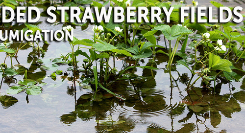Flooded Strawberry Fields In Florida Delay Fumigation