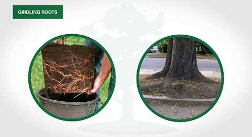 Tree Service Tips: Girdling Roots