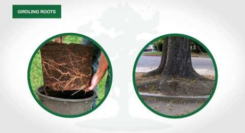 How to Treat and Remove Tree Girdling Roots