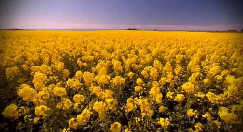 canola flowers / east coast / new zealand