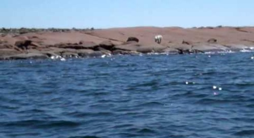 Polar Bear Spotting in Churchill