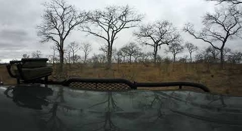 360 degree - Sabi Sand game drive, hyena on ground, two leopards in tree with kill