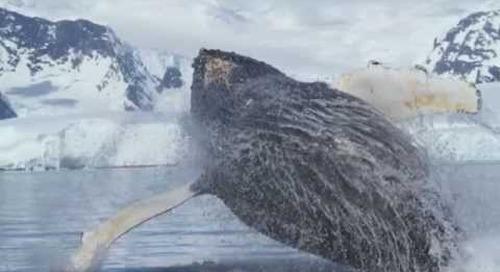Amazing Whale Video From Quark's Antarctic Peninsula Voyage
