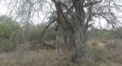 Spectacular leopard sighting, Sabi Sands, Kruger