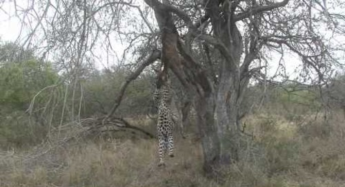 Spectacular leopard sighting, Sabi Sands, Kruger