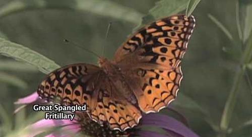 Butterflies and Moths of Nebraska