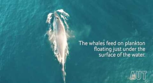 Rare whale footage shot by drone thanks to AUT scientists