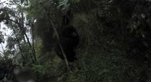 Rwanda - Gorilla Trek 360º - teenager gorilla wants to grab camera