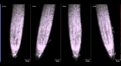 ZEISS Lightsheet Z.1: Arabidopsis root growth