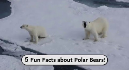 Did you know: 5 Facts about Polar Bears!