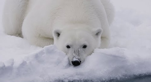 Face to Face with Iconic Arctic Wildlife