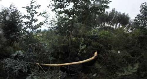 Rwanda - Gorilla Trek 360º - the silverback