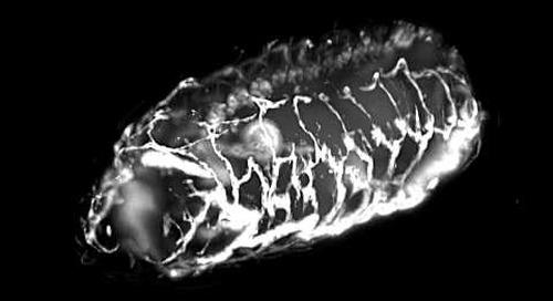 ZEISS Lightsheet Z.1: Drosophila embryo tracheal development