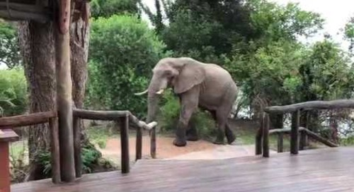 Elephant climbing at lodge in Kafue
