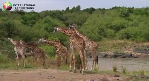Africa Wildlife: Giraffes