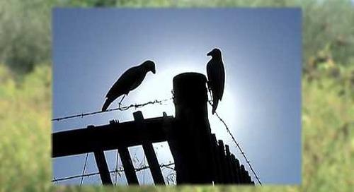 Dove Hunting Basics