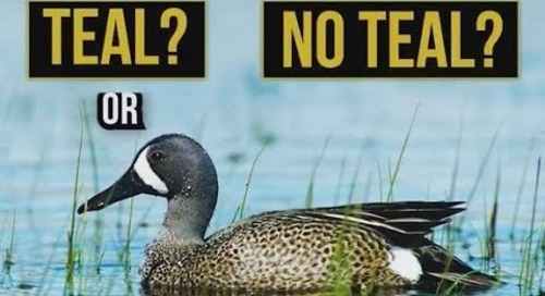 Teal or No Teal: Nebraska's Early Teal Season