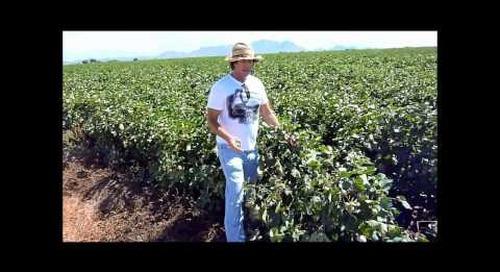 Big Cotton Farm from Huma Gro Plant Nutrients