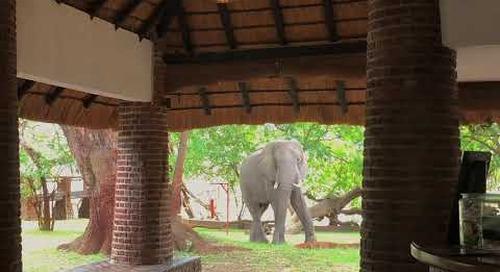 Elephant at Mfuwe Lodge