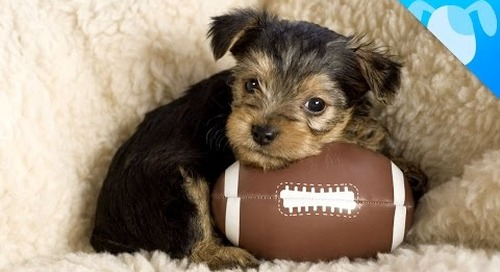 Best Dog Breeds to Watch Sports With!
