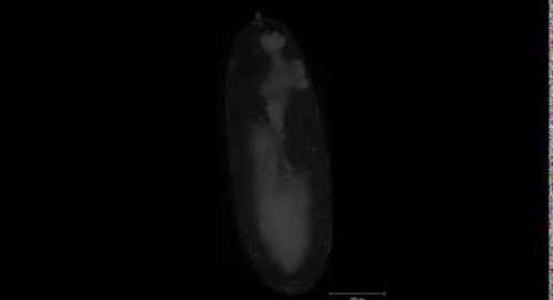 Lightsheet Z.1: Drosophila embryo, stage 10-14