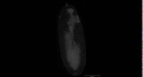 Lightsheet Z.1: Drosophila embryo, stage 10-14