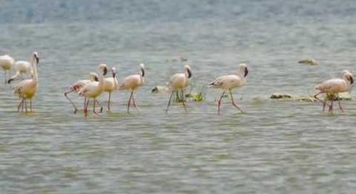 Lake Nakuru, small & tender
