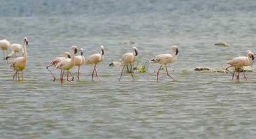 Lake Nakuru, small & tender