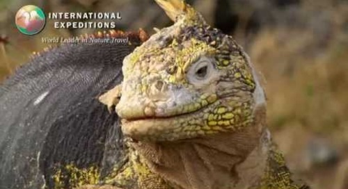 Land Iguanas of the Galapagos Islands