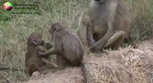 Africa Wildlife: Baboons