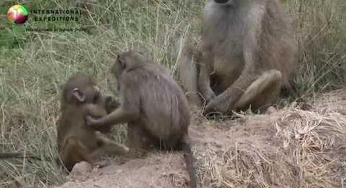 Africa Wildlife: Baboons