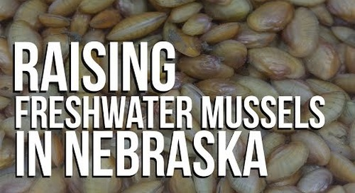 Raising Freshwater Mussels in Nebraska: a conservation success