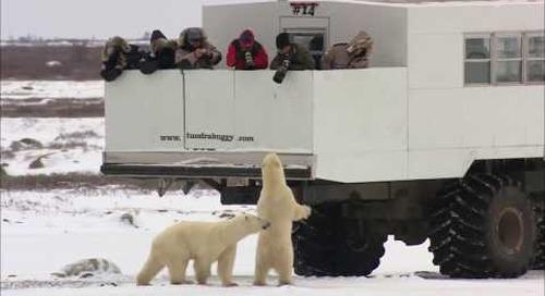 Churchill Manitoba - The Polar Bear Capital of the World!